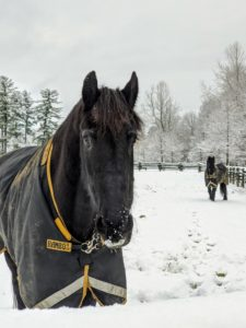 And here is Meindert - so happy to be outside. All my horses are in their Rambo Supreme Turnout Rugs from Horseware Ireland.