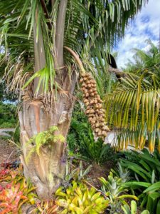Here is a closer look at the cohune palm and its nuts. The Maya would crack the nuts and then boil them to extract the oil. Today, the nuts are cracked and the soft contents are used raw.