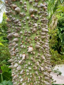 Also known as a silk floss tree hybrid, this Ceiba trunk is filled with thick conical thorns.
