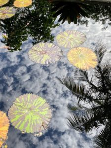 Nymphaea 'Avalanche' is a large growing water lily with green pads and maroon mottling.