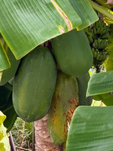 The fruits are large and elongated. I have papaya trees growing in my Bedford, New York greenhouse - the melon-like fruits are so sweet and delicious.