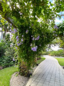 This Thunbergia grandiflora, or Blue Sky Vine, is located in the Caribbean Garden. It is a woody-stemmed, evergreen, tropical, twining climber that grows to 15 to 30-feet long.