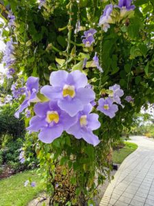 Thunbergia grandiflora is native to India and has elliptic to heart-shaped dark green leaves and trumpet shaped flowers that are lavender blue with yellow throats.