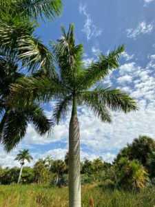 This is Roystonea regia, or Royal Palm, in the River of Grass. A large and attractive palm, it has been planted throughout the tropics and subtropics as an ornamental tree.