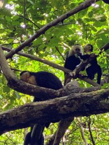 Capuchin monkeys, also called white-faced monkeys, occupy the wet lowland forests on the Caribbean coast of Costa Rica and Panama and in the deciduous dry forests on the Pacific coast. These animals are very curious.