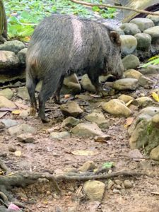 Peccaries are adorable little wild pigs found in the deciduous dry forest, tropical rainforests, low-lying shrub forests, and agricultural areas in Costa Rica. They are quite resourceful and adaptable and live in herds of between three and 30 other peccaries, maintaining a hierarchical structure within their herd.