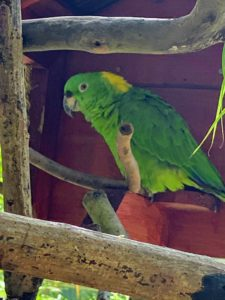 This is a yellow-naped Parrot, Amazona a. auropalliata. It is almost entirely green, with a large patch of yellow on its nape.