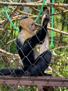 Here's another capuchin monkey at the sanctuary. The sanctuary has a more private area for wounded animals that need special care during rehabilitation.
