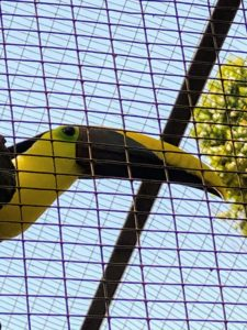 This is the Chestnut-mandibled Toucan or Swainson's Toucan, a brightly marked bird with a large bill. The male can reach up to two feet in length, while the smaller female reaches about 20-inches long at maturity. This toucan eats a variety of fruit, including different seeds, berries, drupes, and fruit fleshes. They also like insects or small snakes and hunt for birds' eggs, nestlings, and lizards.