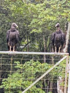 If you saw my photos on my Instagram page @MarthaStewart48, you may have seen these two black vultures, Coragyps atratus. We saw vultures everywhere - these large, mostly black birds with bald, wrinkled, charcoal-black heads and wingspans up to five feet. With keen eyesight, they can spot carcass from far distances, but these scavengers have a poor sense of smell.