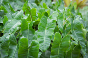 This is a Burle Marx philodendron with glossy, long heart-shaped leaves. This variety tolerates more sun than other philodendrons, and once established, also tolerates mild drought. (Photo by Mary Dominguez)
