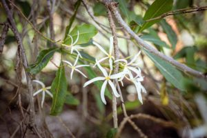 Plumeria stenopetala is a rare and extremely fragrant species that produces large hanging clusters of weeping, white, thin and curly petaled blossoms with a very strong jasmine-carnation perfume. (Photo by Mary Dominguez)