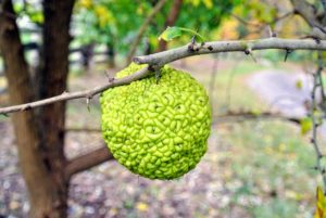 The Osage orange produces a large, warty, inedible fruit that has a distinctive orange aroma.
