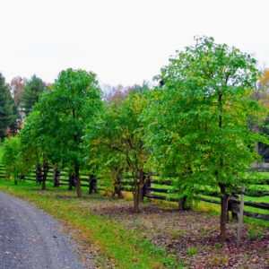 This is how the Osage orange trees look when all leafed out.