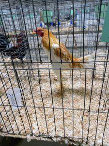 Here is a Red Pyle Modern Game cockerel. This breed has beautiful red and white feathers and is known for its docile nature. They are very easy to handle and maintain and are very impressive show birds.