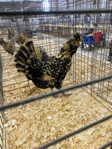In this cage - a cream Brabanter. The Brabanter breed originated in the historic region of Brabant in the Netherlands. It is an attractive bird with its narrow, flattened crest, and its three-cornered beard. The recognized colors include black, blue, white cuckoo, gold, silver, chamois, and cream.