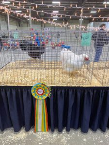Here is a closer look at Ari's and Tom's gorgeous award-winning white Wyandotte hen. The Wyandotte is an American breed of chicken developed in the 1870s. It was named for the indigenous Wyandot people of North America. The Wyandotte is a dual-purpose breed. It is a popular show bird and has many color variants.