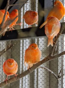 The bold colors of these red factor canaries can range in shades of light peach to apricot to orange to red.
