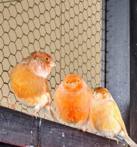 The red factor canary, Serinus canaria domestica, is one of the most popular canary breeds. They are prized for their color rather than their song, but they are also very melodious singers and enjoy singing. My canaries also love to listen to classical music, which I keep on for them during the day.