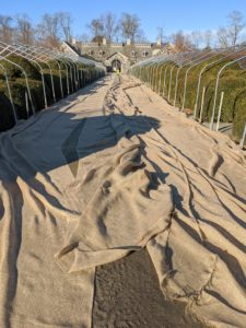 One of the first signs of winter here at my Bedford, New York farm is the sight of burlap around various shrubs and hedges. Here at the Boxwood Allee, long sheets of burlap are unrolled and sewn together before draping over the metal frames.