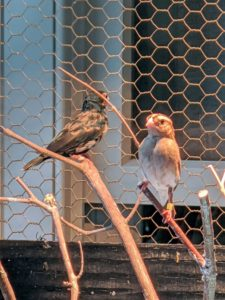 These are my new Comboassou finches - members of the Whydah family of birds. This male and female are both two years old.