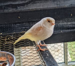 These canaries will often recognize regular visitors to their cage.