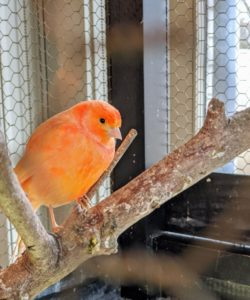 As these red factors grow, they develop more red coloring from the beta carotene in their foods. On this canary, you can see three pretty color shades – peach, red and orange.