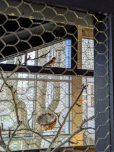 These finches love their large cage. Here is the female looking out the window at the horse paddocks.