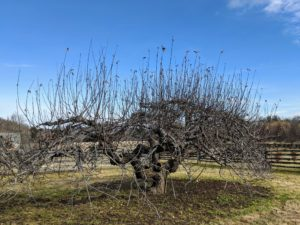 "I have many, many apple trees at the farm, and a good number of them are at least 50-years old, so they were already here when I purchased the property. This old apple tree is one in a stand of ""ancient apples"" that still produces abundant fruits each season."