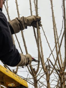 Because of the thorny branches, it is important to wear protective glasses, long sleeves, and thick gloves when working with these trees.