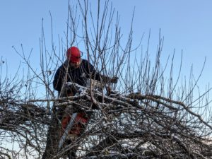 Danny cuts branches that are rubbing or crisscrossing each other, preventing healthy new growth.