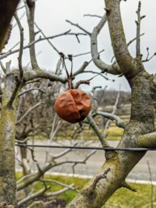 Here's an old apple that remained on the branch. We had a very productive apple season this year.