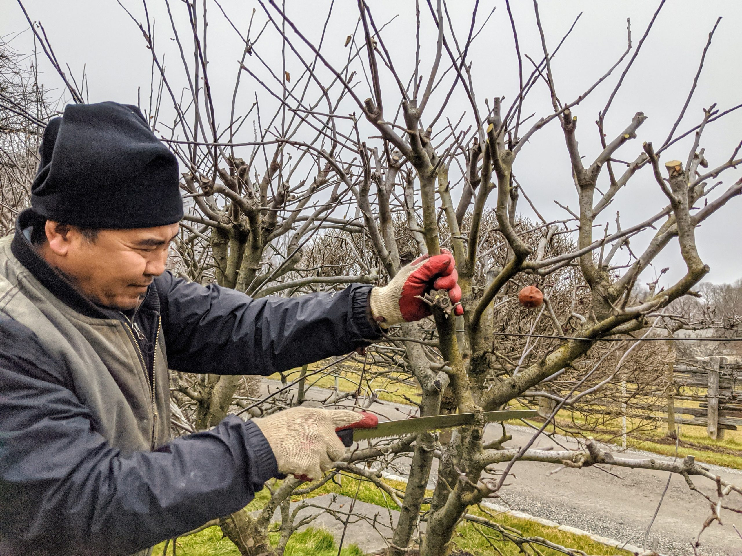 How to prune old apple trees with orchardist bob lever