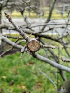 Dead branches, or those without any signs of new growth, are also cut, so the energy is directed to the branches with fruiting buds.
