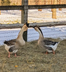And this is my new pair of Brown African Geese - a breed of domestic goose derived from the wild swan goose. The African goose is a massive bird. Its heavy body, thick neck, stout bill, and jaunty posture give the impression of strength and vitality - they will all be great additions to my beautiful flock.