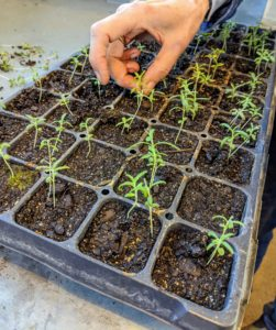 "Wendy is working on a tray of rosemary. When the seedlings are a couple inches tall and have reached their ""true leaf"" stage, which is when each seedling has sprouted a second set of leaves, it's time for a process called selective thinning. Selective thinning prevents overcrowding, so seedlings don't have competition for soil nutrients or room to grow."