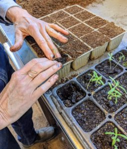 Wendy places the seedling in the cell and gently firms up the surrounding soil. She avoids handling the seedling by its tender stems, which can bruise easily. The stronger plants now have more room to grow before getting transplanted into larger pots or into the ground.