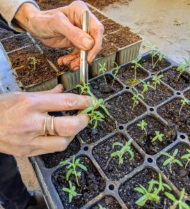 When thinning, Wendy carefully inspects the seedlings and determines the strongest ones. She looks for fleshy leaves, upright stems, and center positioning in the space. The smaller, weaker, more spindly looking seedlings are removed, leaving only the stronger ones to mature. These stronger specimens will be transplanted into larger cells.