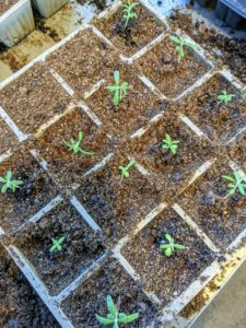 The purpose of transplanting is to provide enough room – overcrowding can stress the sprouts.
