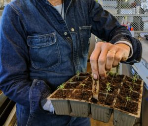 Once the seedlings are transplanted, the marker is moved to the larger tray so developing plants are always well-identified.