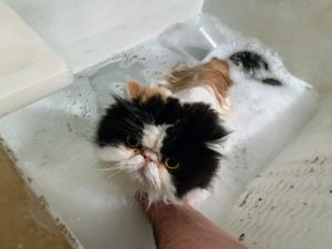 Next, it was Empress Tang's turn. She is placed in the sink of lukewarm water and washed. She enjoys bath time and doesn't even try to wriggle her way out.