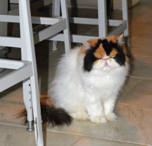 Here's Princess Peony in the kitchen. My cats are brushed every day, but on this day, it was time for a bath.