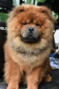This photo was taken last summer. Han is growing up to be a gorgeous Chow. He loves riding with me when I tour the farm on my trusted Polaris. Chows come in five colors: red, black, blue, cinnamon and cream. Both Han and Qin are reds.