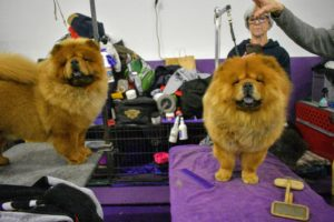 This photo was taken last year at Westminster. Qin is on the right, with her sister, Tolosa, on the left - both are on their grooming tables getting ready for their time in the ring. Good luck today, Tolosa.