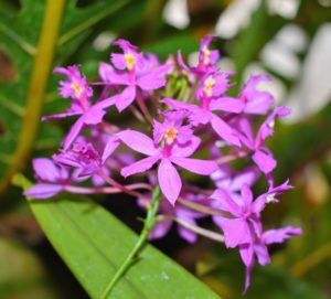 This is a reed-stem Epidendrum orchid. These plants thrive with medium to high light conditions and should be potted in a well-draining medium. Reed orchids produce clusters of flowers shaped like those of the cattleya orchid, but much smaller. Here, the bright pink blooms stand out against the green leaves. Epidendrums are tough plants and can do well in almost any temperature above 50-degrees Fahrenheit.