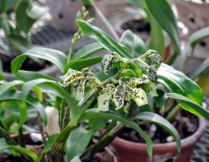 Dendrobium is a large orchid genus, with more than a thousand species. This Dendrobium 'Little Atro' grows to 20-inches. The evergreen canes are topped by a single three to five-inch long inflorescence, each one producing four to eight flowers.