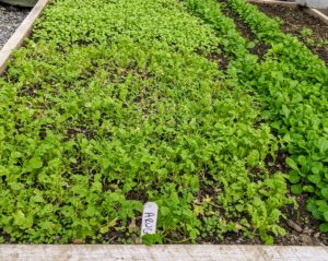 I am a big fan of succession planting, which is rotating crops and recycling the space to ensure something is growing at all times. Here is a crop of arugula. Arugula is a cruciferous vegetable that provides many of the same benefits as broccoli, kale, and Brussels sprouts. Arugula leaves, also known as rocket or roquette, are tender and bite-sized with a tangy flavor.