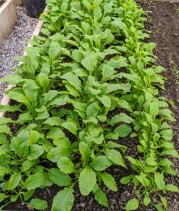 """And here is a bed of growing turnips - root vegetables that are commonly grown in temperate climates worldwide for its white, fleshy taproot. The word turnip is a compound of """"tur"""" as in turned or rounded on a lathe and """"neep"""" derived from the Latin napus, the word for the plant."""