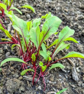 This vegetable also has a colorful stem – beets. These are sweet and tender – and one of the healthiest foods. Beets contain a unique source of phytonutrients called betalains, which provide antioxidant, anti-inflammatory and detoxification support.