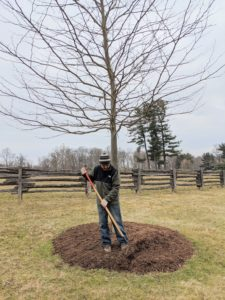 Here is Chhiring mulching the pit of this handsome Bloodgood London plane tree. This is a vigorous-growing variety with a very uniform branching habit. It also has large, maple-like bright-green leaves that turn a bronzy yellowish-gold in the fall.